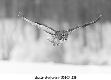 The Great Grey Owl Or Great Gray Is A Very Large Bird Documented As