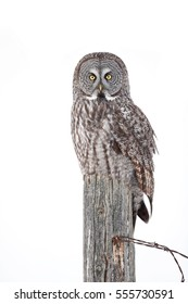 Great grey owl isolated on white background sitting on post in winter in Canada
