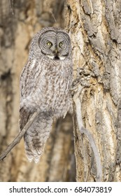 Great grey owl on branch of cottonwood tree in winter looking at camera