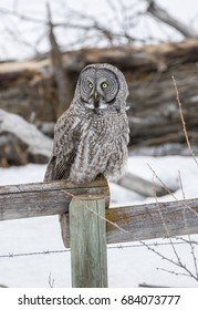 Great grey owl on fence post hunting food in winter