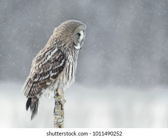 Great grey owl perching on a post in the falling snow in winter, Finland