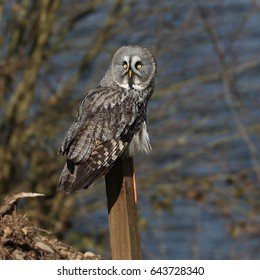 Great Grey Owl perhced on a wooden post