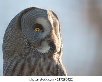 great grey owl portrait