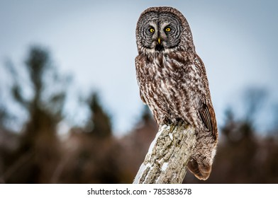 Great Grey Owl posing on a fence post in a farm field, on a cold cloudy winter day. Picture taken in southern Ontario, Canada.