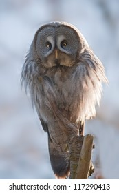 Great grey owl is sitting on a branch