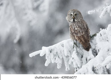 Great Grey Owl Srix nebulosa in snowy woods