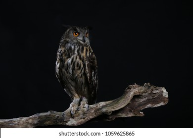 The great grey owl or great grey owl (Strix nebulosa) is a very large owl, documented as the world's largest species of owl by length.