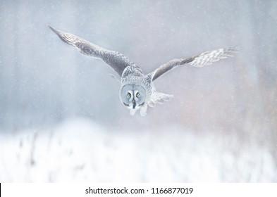 Great Grey Owl (Strix nebulosa) in flight, Finland in winter.