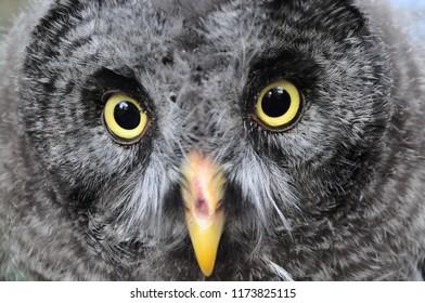great grey owl Strix nebulosa