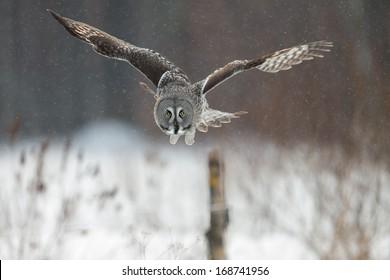 Great Grey Owl (Strix nebulosa) hunting in Finland in winter.