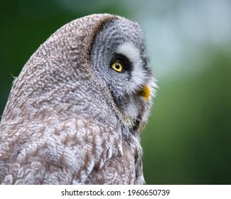 great-grey-owl-strix-nebulosa-260nw-1960
