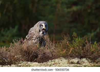 Great Grey Owl (Strix nebulosa) He is sitting in grass and looking around when the sun rises
