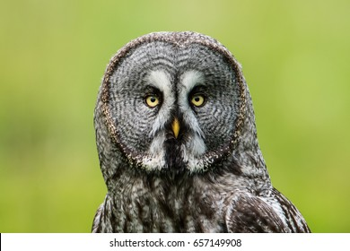 A Great Grey Owl (Strix Nebulosa) shows his beautiful face central in this portrait  when perching on a roundpole with a nice defocused background.