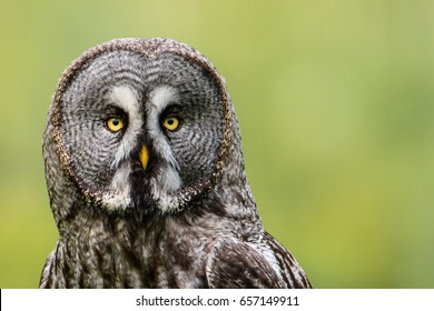 A Great Grey Owl (Strix Nebulosa) shows his beautiful face to the left in this portrait  when perching on  a roundpole with a nice defocused background.