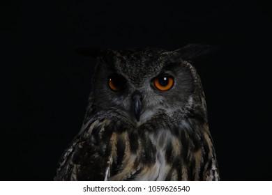 Great Grey Owl - Studio Captured