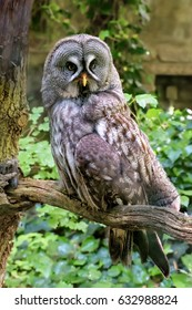 Great grey owl is a very large owl. Plumage of the face. Vertical. Close up. Strix nebulosa
