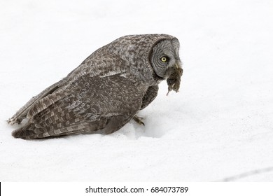 Great grey owl with vole in deep snow in winter
