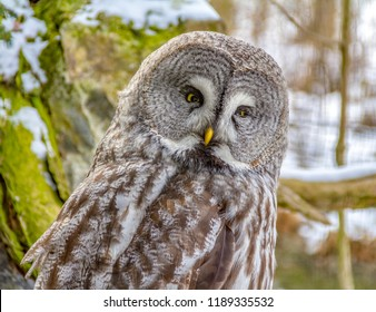 Great grey owl at winter time