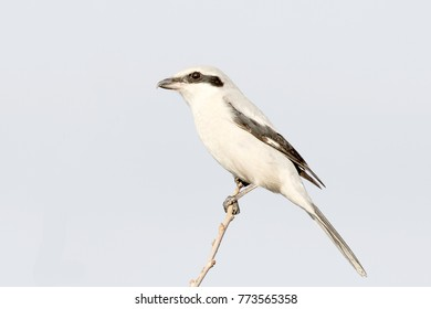 great grey shrike in natural habitat / Lanius excubitor