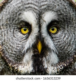 Great Grey's Face a close up of the Great Grey Owl (Strix Nebulosa)