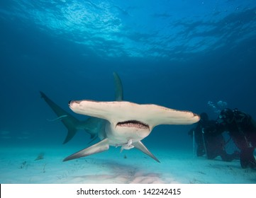 Great hammerhead and divers