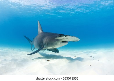 A great hammerhead forages in the shallow seas of the Bahamas