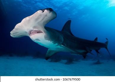 Pesce Martello Images Stock Photos Vectors Shutterstock