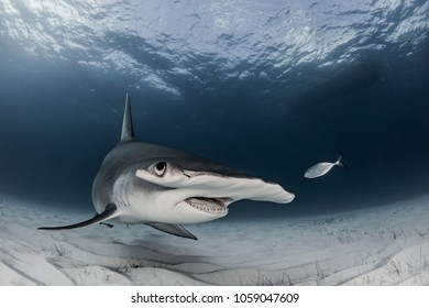 Great Hammerhead Shark at Bimini Bahamas on sandy bottom