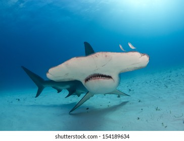 Great Hammerhead Shark in Bimini, Bahamas