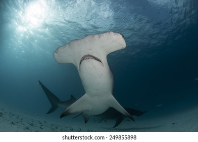 The Great Hammerhead Shark from Bimini, Bahamas