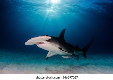 Great Hammerhead Shark - Bimini Island - Bahamas
