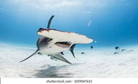 Great Hammerhead Shark in bimini on sandy bottom with mouth open