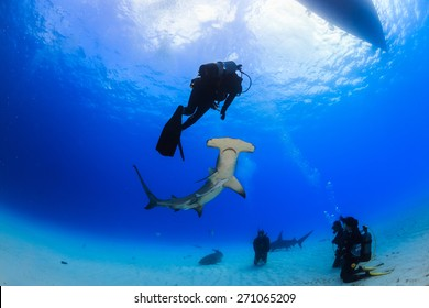 Great Hammerhead shark bottom up view of an encounter with diver in Bimini, Bahamas