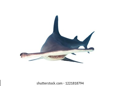 Great Hammerhead Shark Isolated on White Background