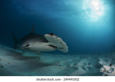 Great Hammerhead Shark in Low Light in the Bahamas