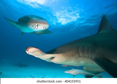 Great Hammerhead Shark and Nurse Shark