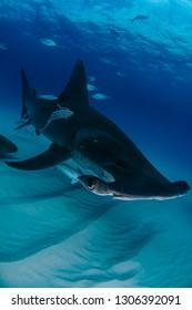 Great Hammerhead Shark Portrait of Bimini, Bahamas