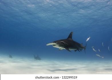 A great hammerhead shark, Sphyrna mokarran, swims in shallow, sandy, water off Bimini in the Bahamas.