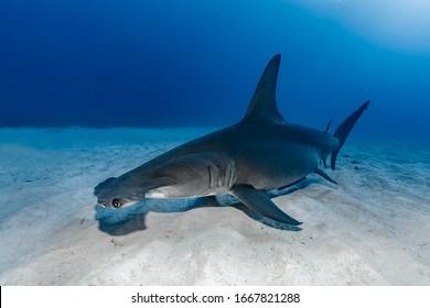 Great Hammerhead Shark (Sphyrna mokarran) swimming over sandy bottom