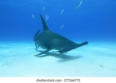 Great Hammerhead Shark (Sphyrna mokarran)