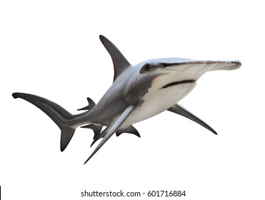 The Great Hammerhead Shark - Sphyrna mokarran is dangerous predatory fish. Animals on white background.
