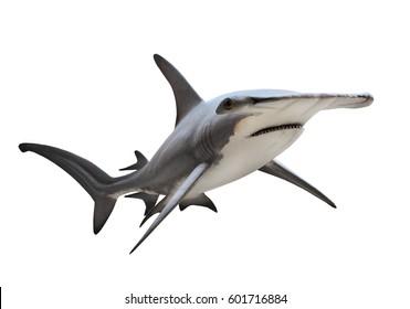 The Great Hammerhead Shark - Sphyrna mokarran is dangerous predatory fish. Animals on white background.