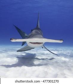 Great hammerhead shark swimming near the sandy bottom in Bimini, The Bahamas.
