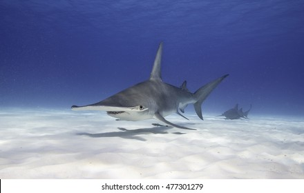 Great hammerhead shark swimming near the sandy bottom in Bimini, The Bahamas.