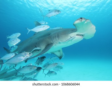 Great hammerhead shark with trailing crowd of smaller fish, New Providence Island, Bahamas.
