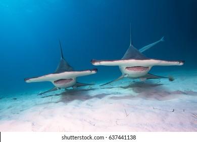 Great hammerhead sharks.