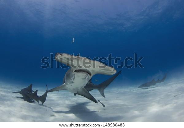 Great Hammerhead Sharks in Bimini, Bahamas