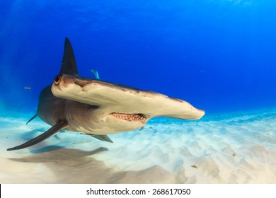 Great hammerhead swimming over the sand in Bimini, Bahamas