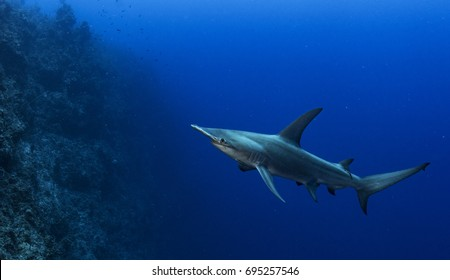 Great heammerhead shark (sphyrna mokarran) swimming along a wall in the Exuma Cays, Bahamas.