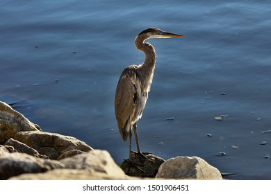 Great Heron - gray, long beak